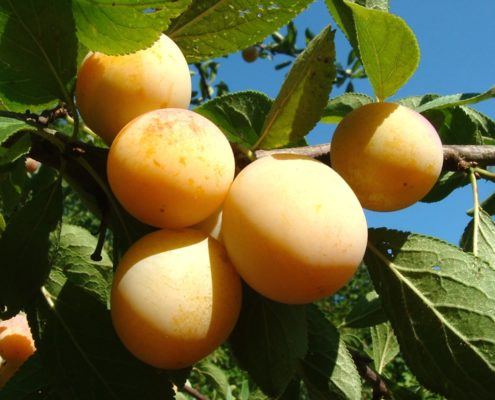 gelbe Kriecherlfrüchte am Baum