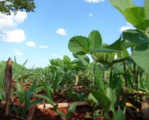 Sojapflanzen am Acker